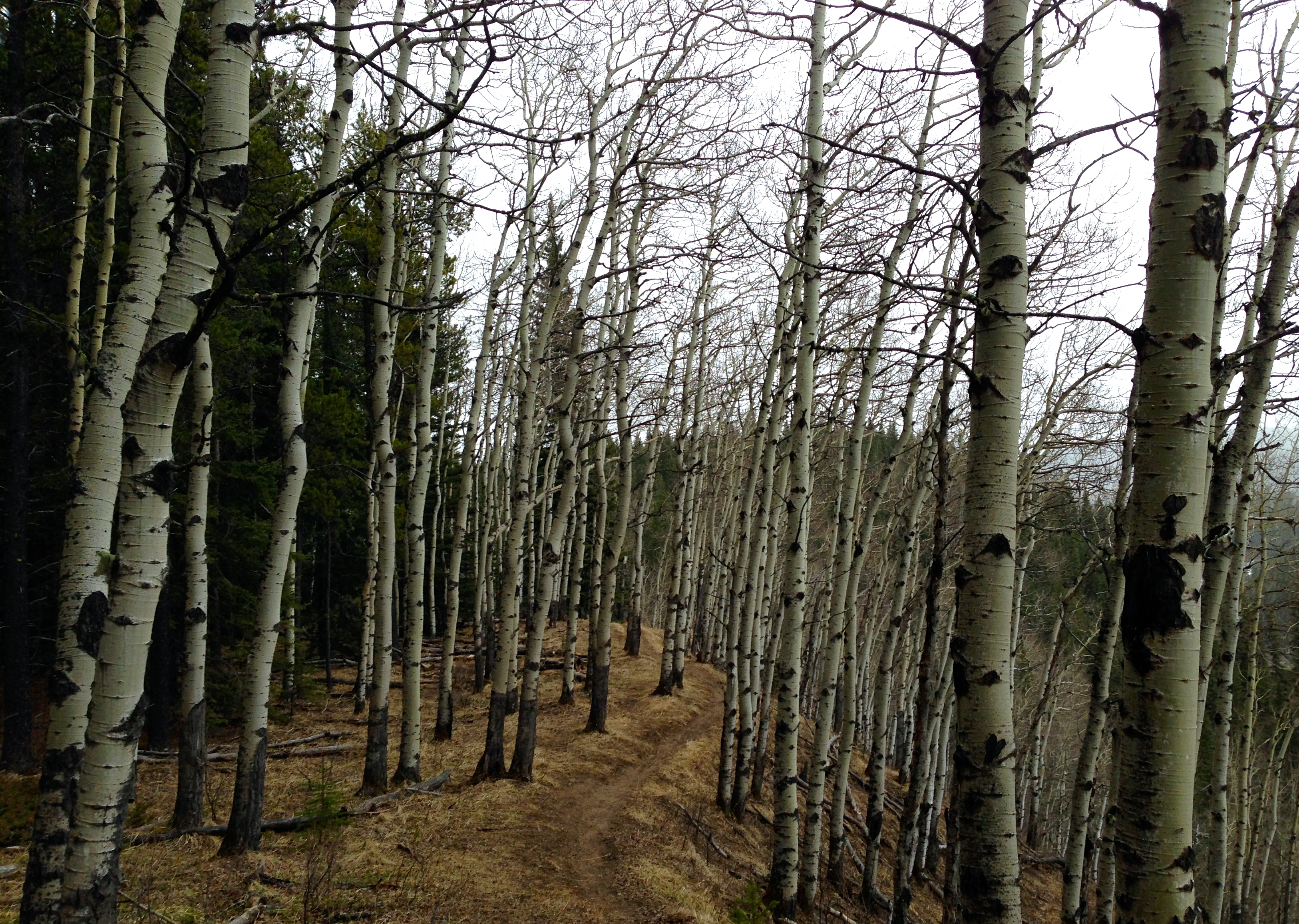 Ominous forest of birch trees
